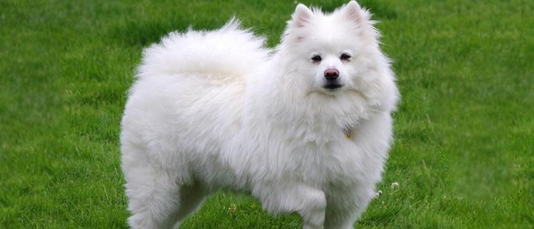 Американский эскимосский той шпиц — цирковая собака