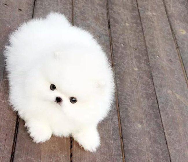 Белоснежный мех является работой гена, который несут в себе собаки