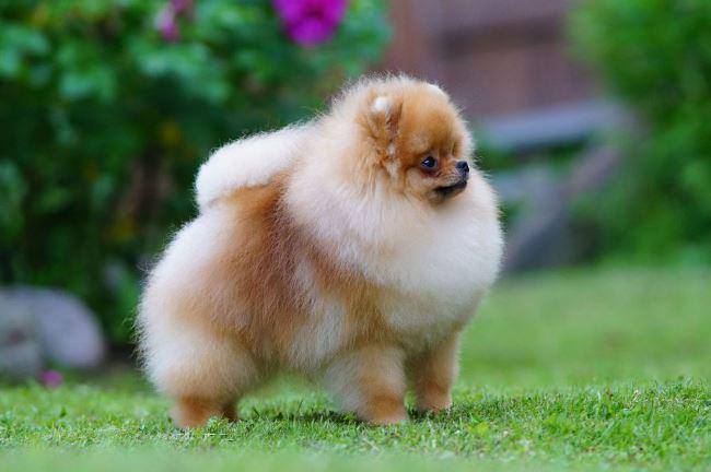 Купить щенка можно в специализированных питомниках или у частных заводчиков
