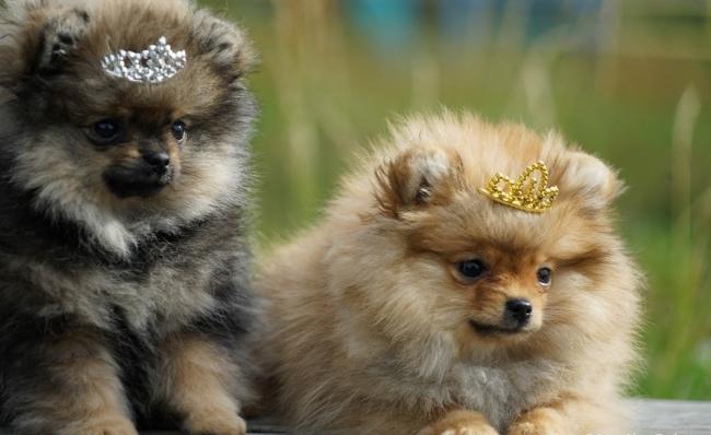 Маленький размер собаки позволит брать ее с собой в путешествия