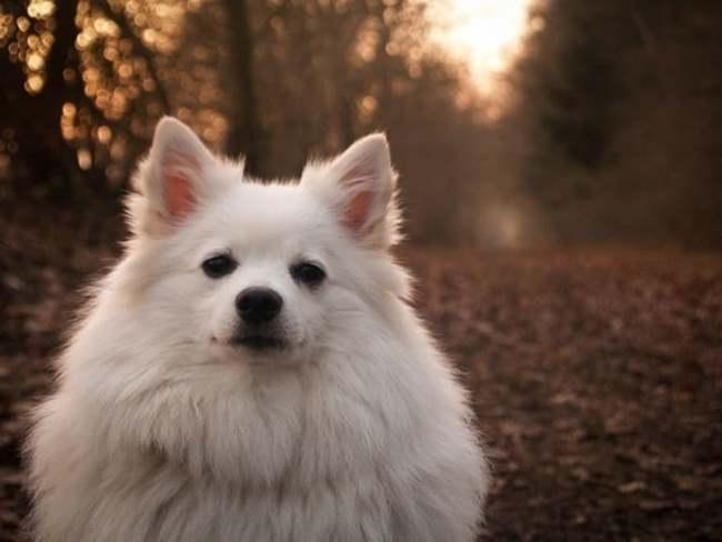 Миниатюрные размеры собаки позволяют ее брать с собой в путешествия