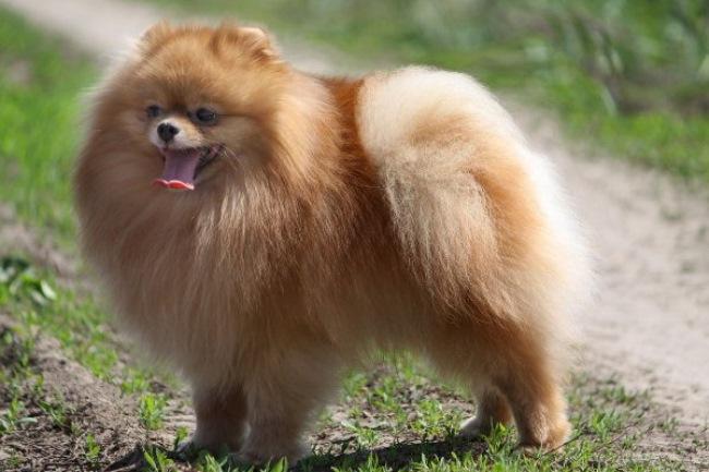 Перед покупкой необходимо определиться для чего именно приобретается собака