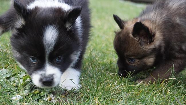 Перед покупкой щенка придется выстоять очередь из желающих