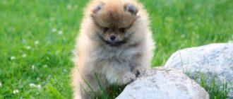 Плюшевый мишка - померанский шпиц