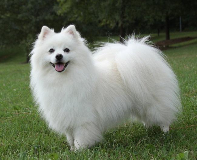 По стандартам породы шерсть у собак должна быть густой и длинной