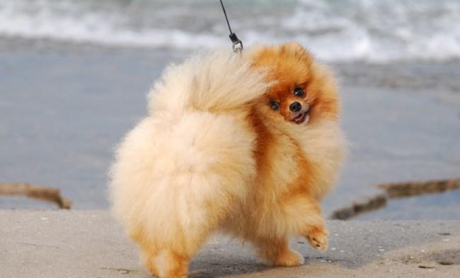 Померанские шпицы очень активные собаки