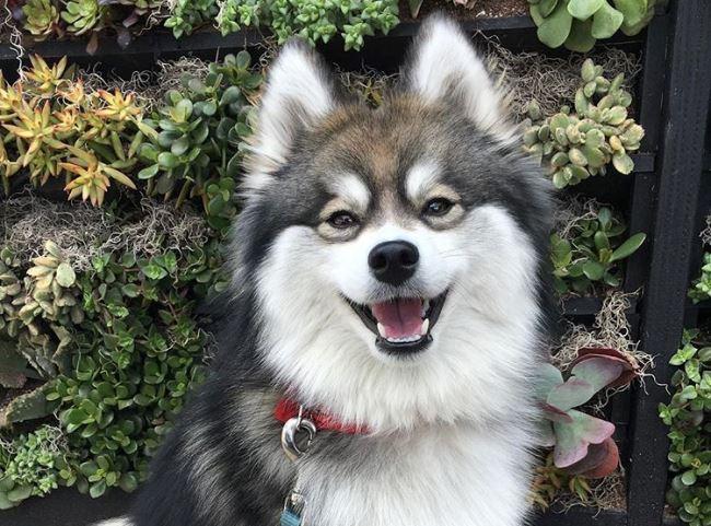 Помски очень общительные собаки и отлично уживаются в семье