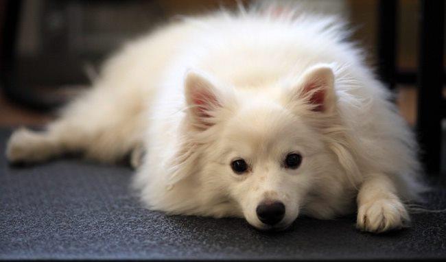 При недостаточном количестве физических упражнений собака может сильно потолстеть