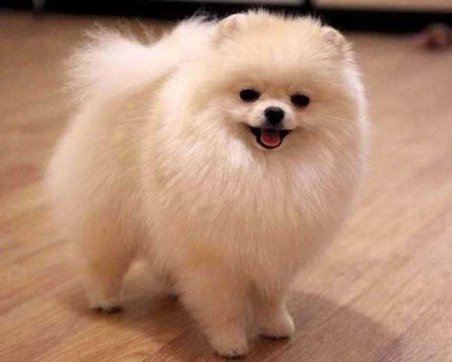 Раньше приобрести собаку с белоснежной шерстью мог позволить себе далеко не каждый человек из знати