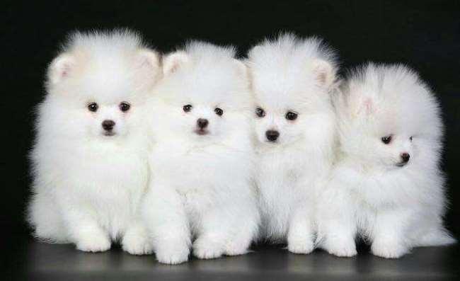 Семья белых шпицев