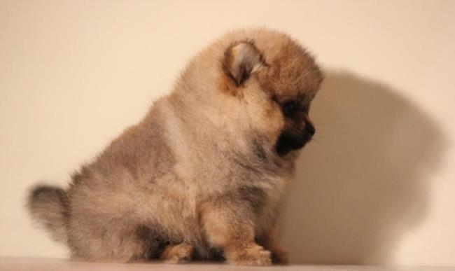 Во время первого знакомства с новым домом щенок будет нервничать и искать укромный уголок