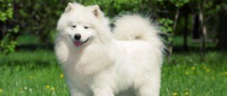 Белоснежная собака с Крайнего Севера России — самоедский шпиц