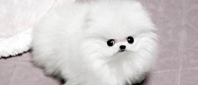 Игрушка или живая собака - померанский шпиц игрушечного типа
