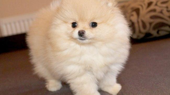 Кремовый щенок