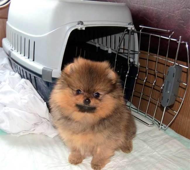 Перевоз щенка