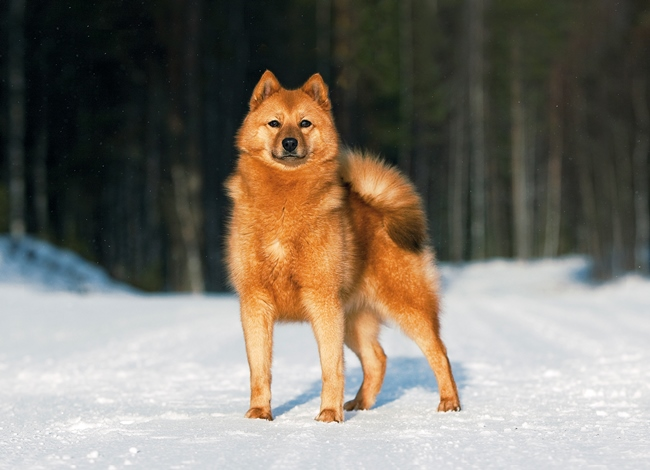 Рыжий финский шпиц