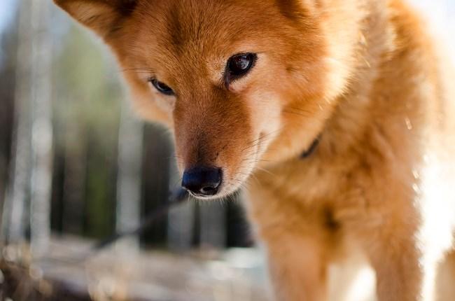 Собаки очень активны и требуют большого количества внимания