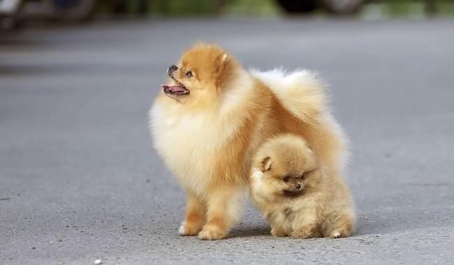 Сука и щенок шпица