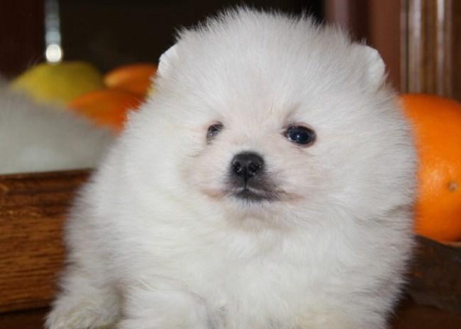 В питомниках собаку можно приобрести по стоимости от 1000 долларов