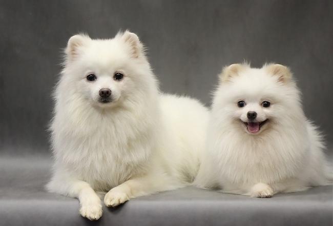Белоснежные собаки