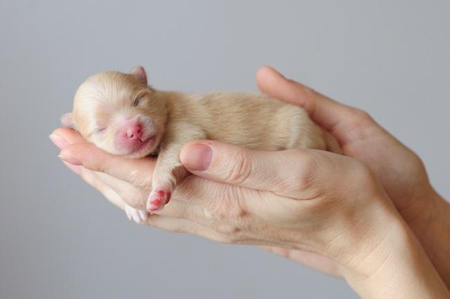 Новорожденный шпиц
