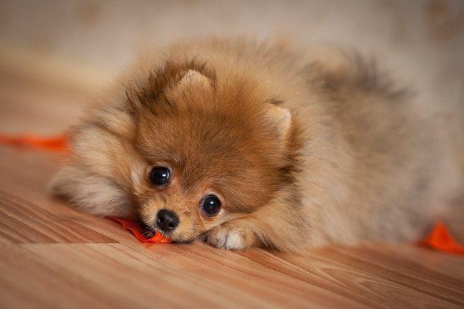 Превышение нормы веса у щенка не является отклонением