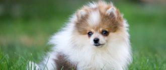 Развитие шпицев по месяцам как меняется рост и вес щенков