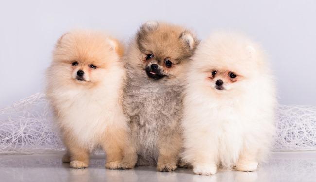Щенки немецкой собаки