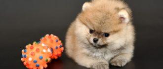 Здоровый шпиц — активный шпиц: как выбрать игрушку для щенка и взрослой собаки