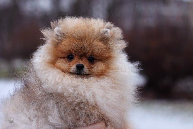 Линька щенка