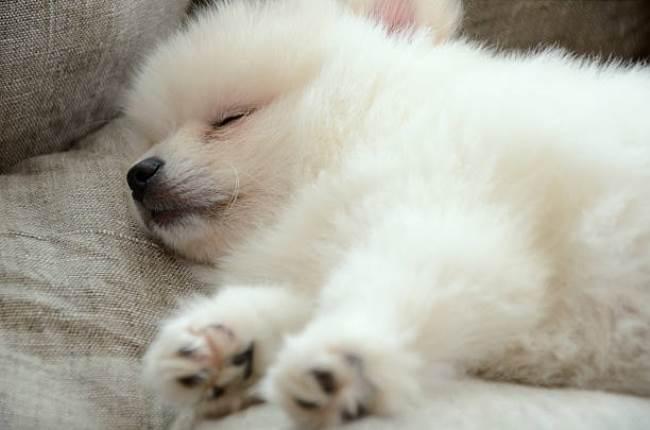 Сонный щенок