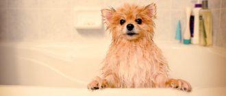 В море, бане и ванной — как правильно купать шпица